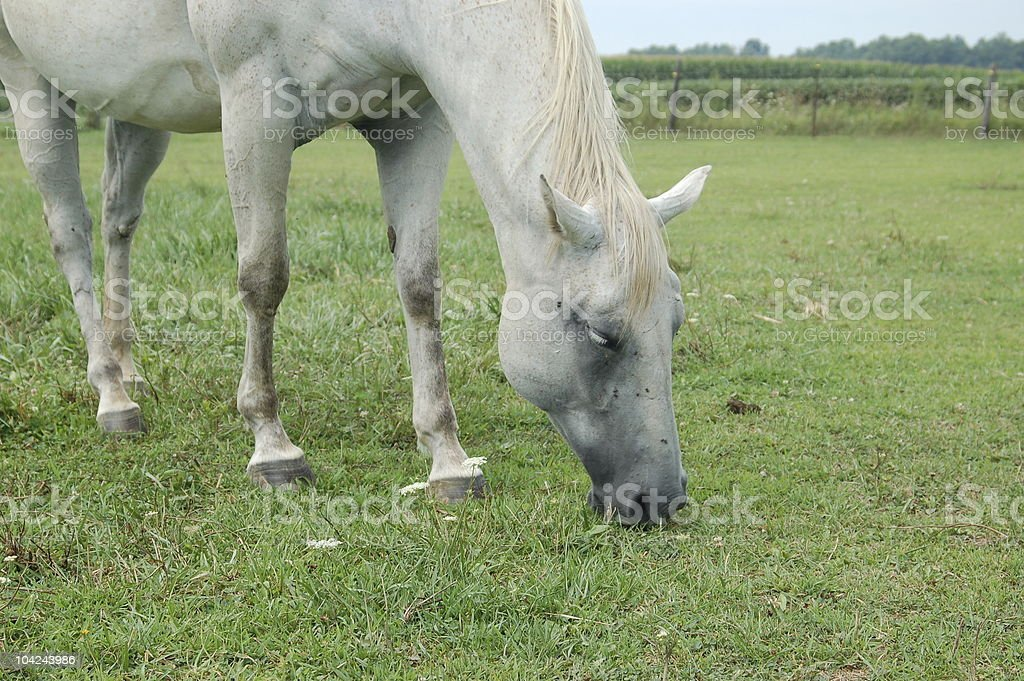 Horse with Face Flies royalty-free stock photo