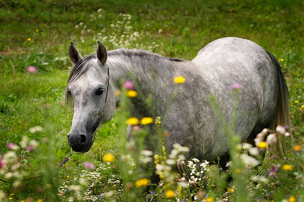 Horse with flowers A beautiful arabian horse standing in the meadow full of wild flowers. Photographed from unusual viewpoint. arabian horse stock pictures, royalty-free photos & images