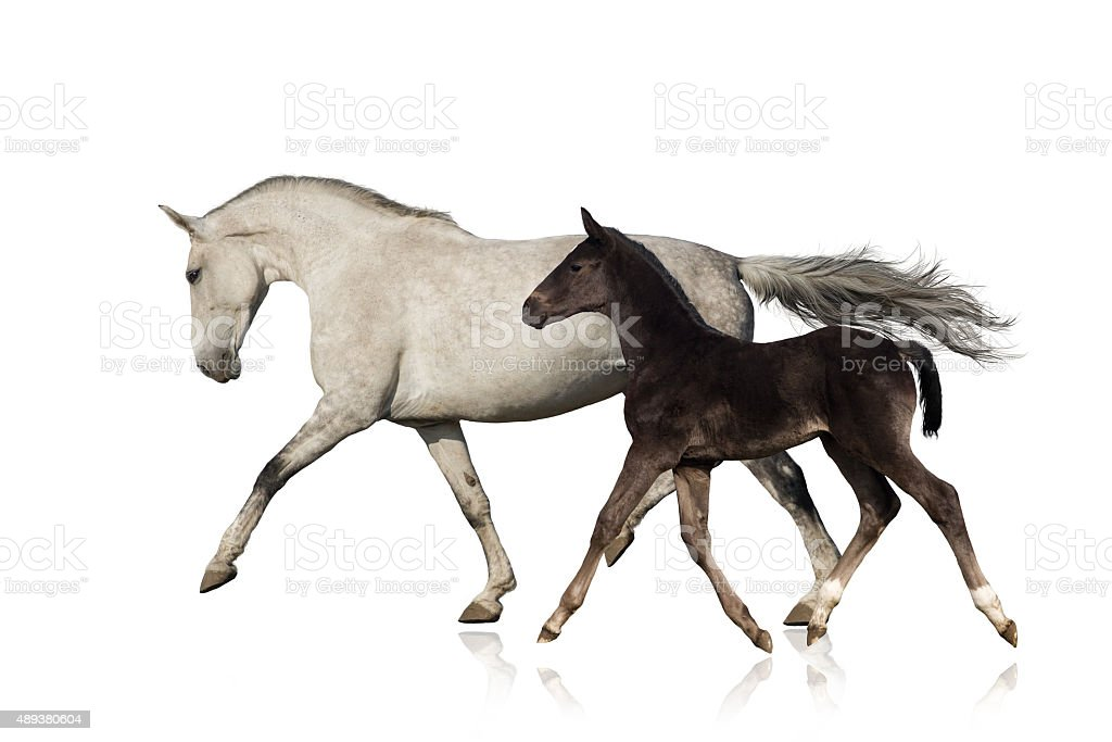 Horse with foal isolated stock photo