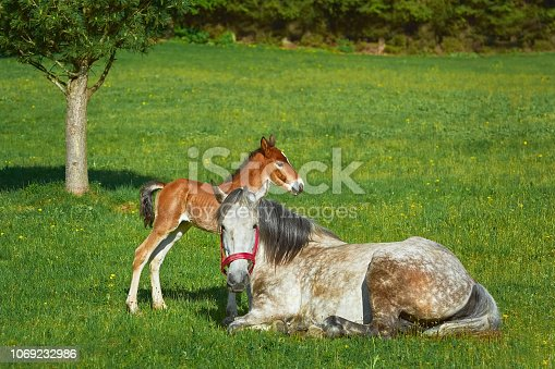 Horse with a Foal on the Green Lawn