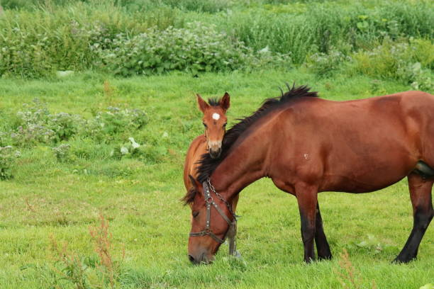horse with foal brown horse with foal in the meadow in summer, foal grazing on the grass, Mare with foal in the village. horse with foal foal young animal stock pictures, royalty-free photos & images