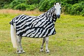 istock Horse with funny zebra Raincoat on Meadow 1135597896