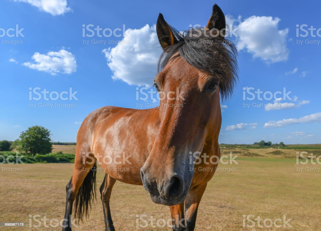 Horse with good hair looks at the camera stock photo