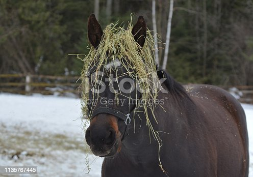 Horse eating hay gets stems on head trying to get to leaf bits on bottom of round bale feeder