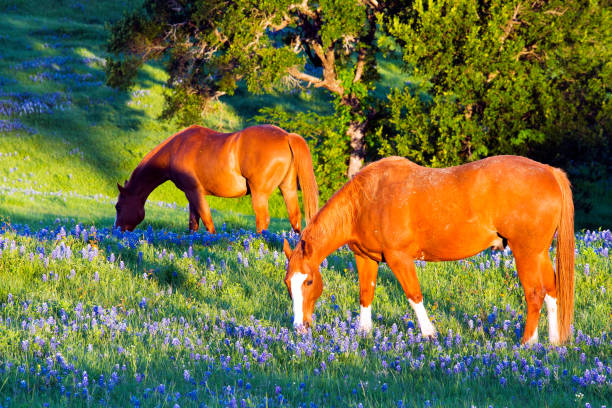 Horse with Spring Bluebonnets stock photo