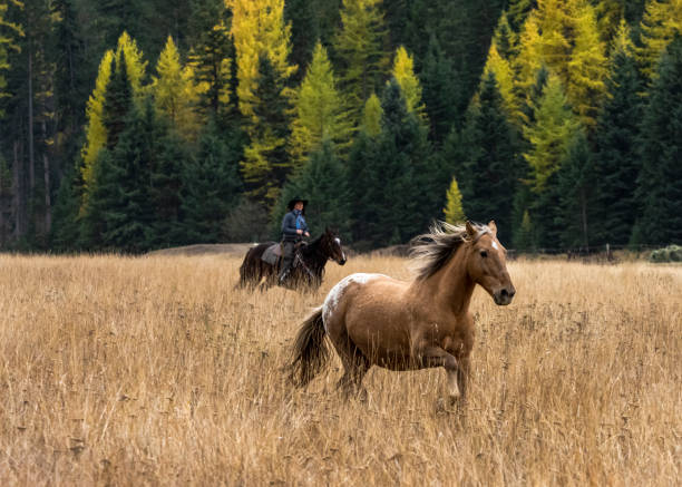 Horse Without Rider Running in Grass Field  Montana stock photo