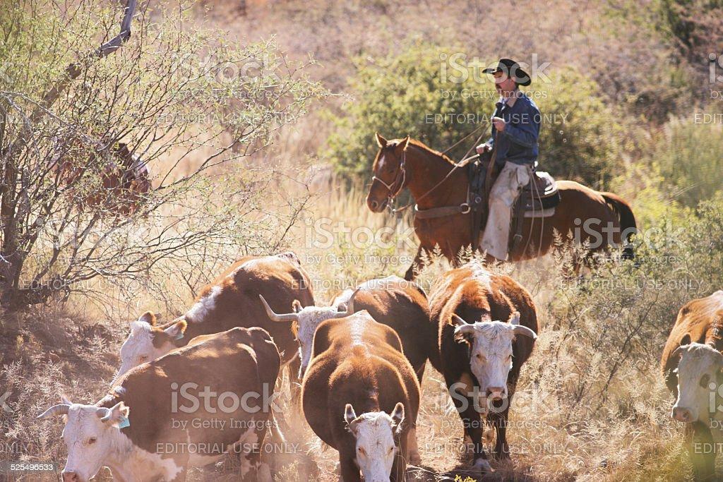 Horseback Cowboy Rancher Herding Cattle stock photo