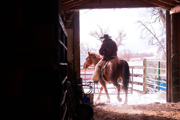 Horseback rider exits a barn in Montana Man riding a quarter horse exits a barn on his farm, Lilvingston, MT, USA rancher stock pictures, royalty-free photos & images