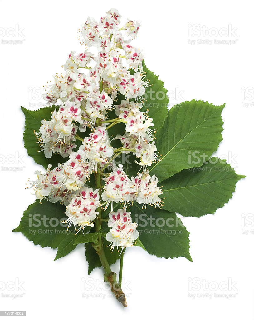 Horse-chestnut flowers and leaf stock photo