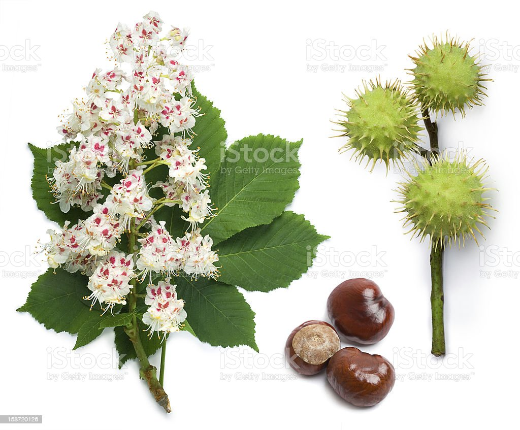 Horse-chestnut flowers, leaf and seeds stock photo