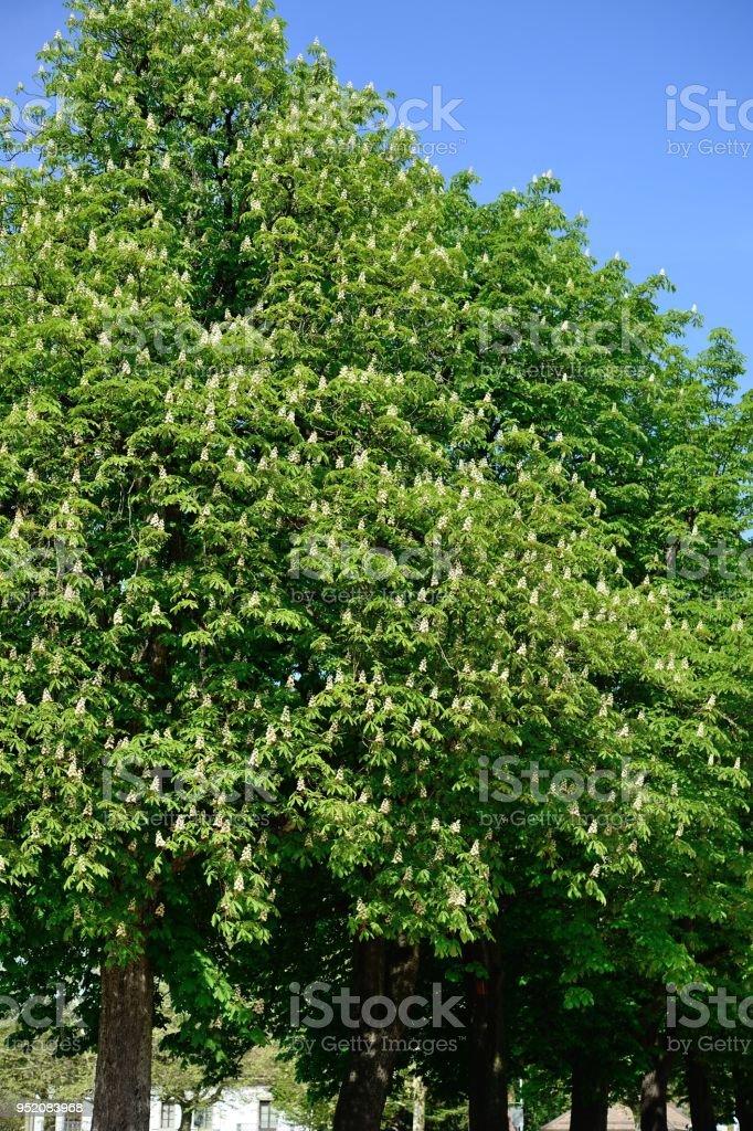 Rosskastanie Bäume (Aesculus Chinensis) – Foto