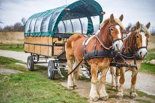 Horse-drawn carriage, Kremserfahrt near Cape Arkona on the island of Rügen
