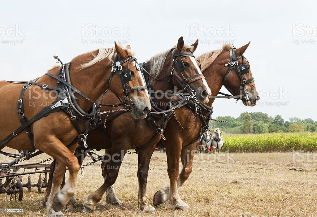horse-drawn farming demonstrations stock photo