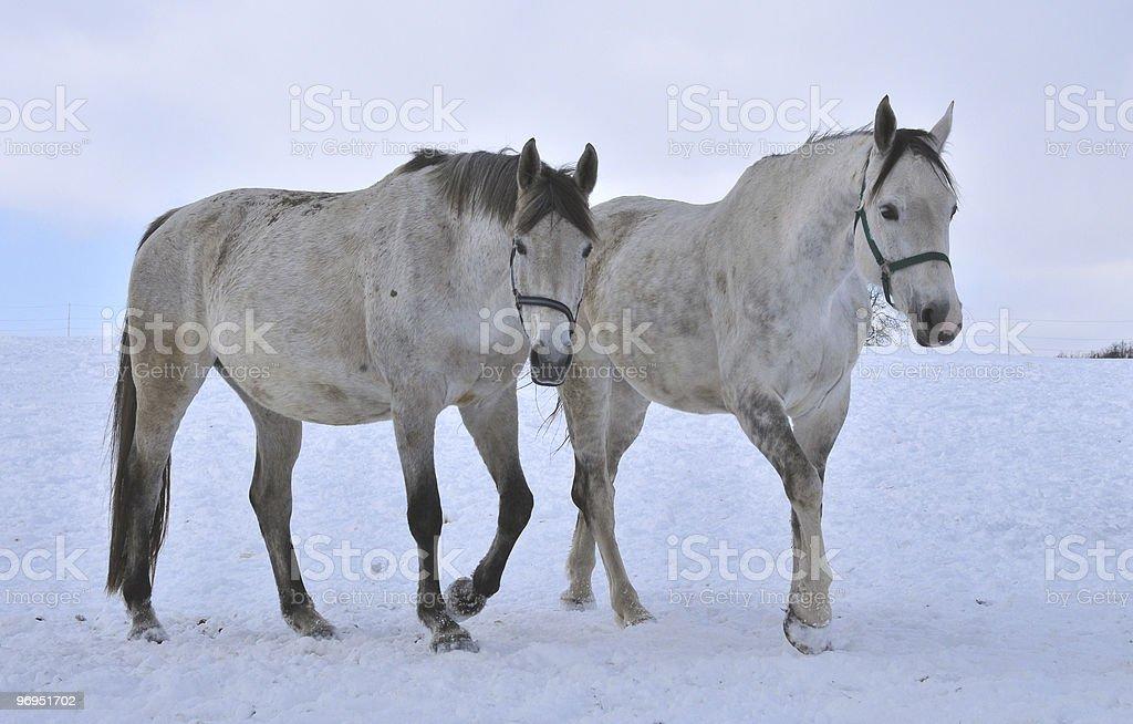 horseflesh on the snow royalty-free stock photo