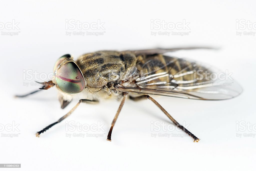 Horsefly 03 royalty-free stock photo