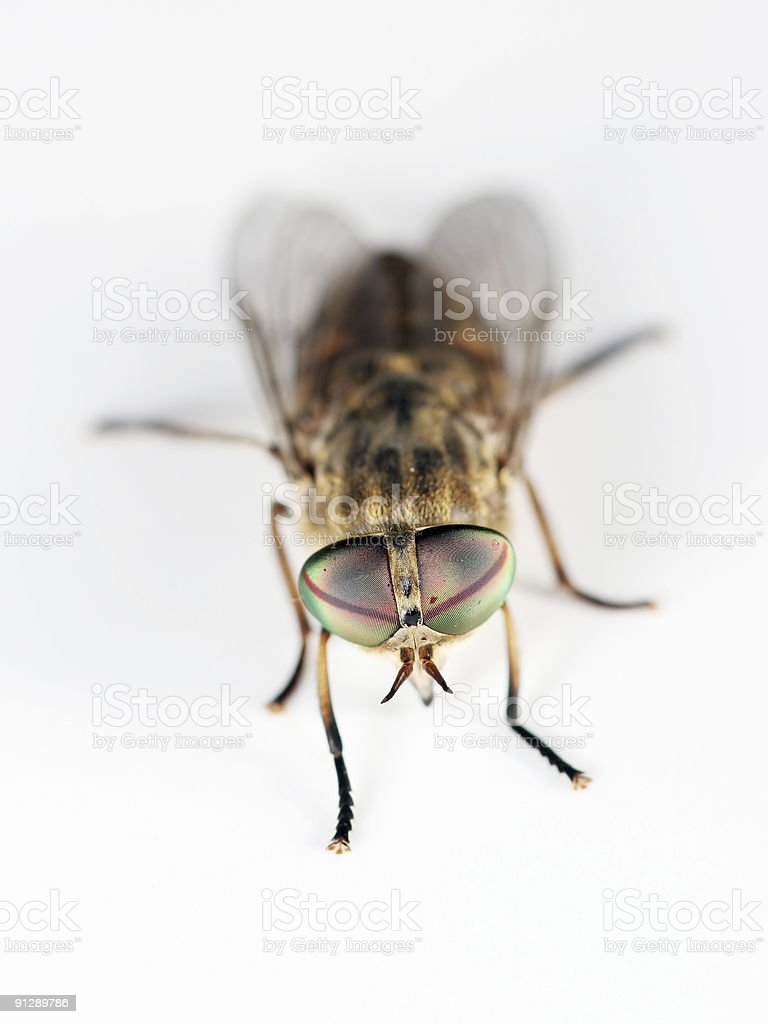 Horsefly 04 royalty-free stock photo