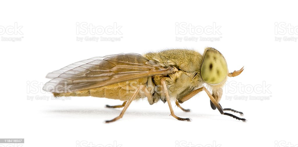 Horse-fly, Atylotus rusticus, against white background royalty-free stock photo