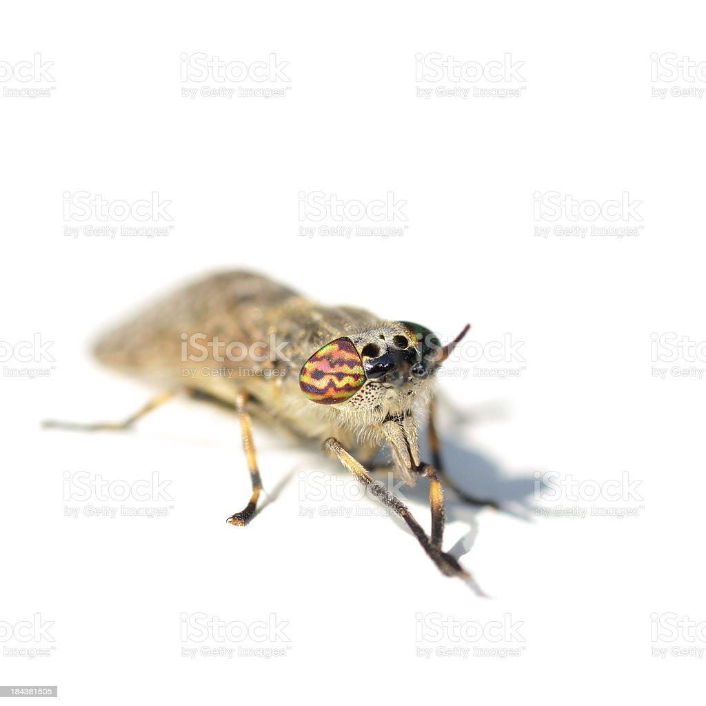 Horse-fly close-up stock photo