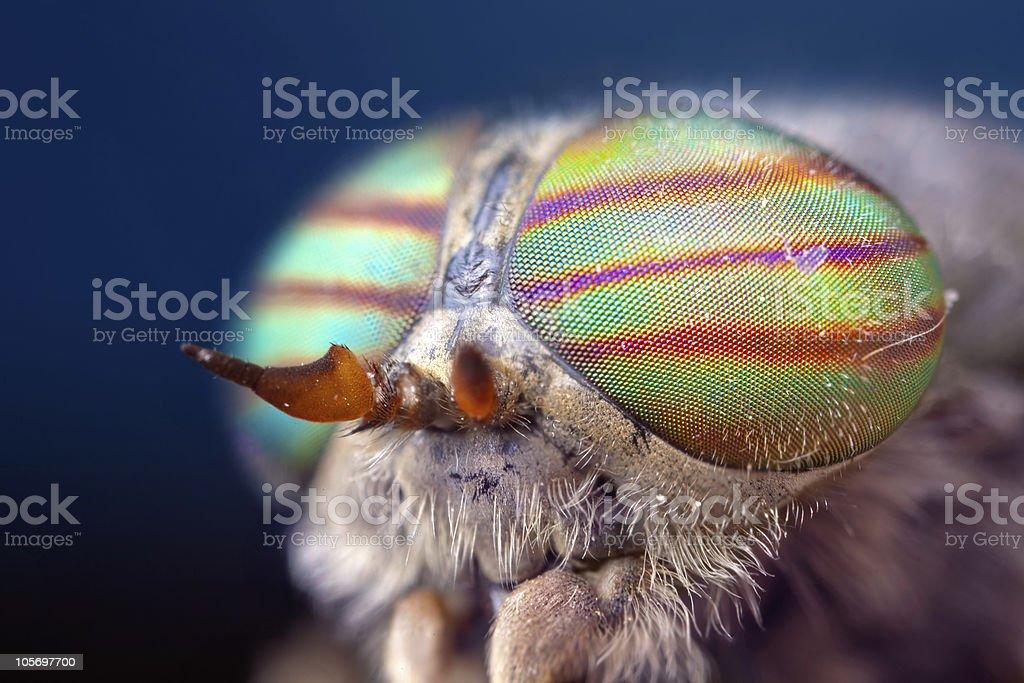 horsefly head stock photo