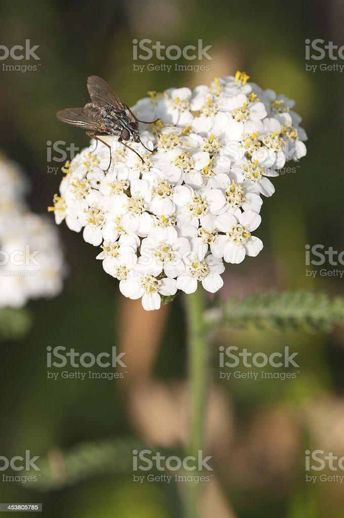 Horsefly on a Yarrow Flower royalty-free stock photo