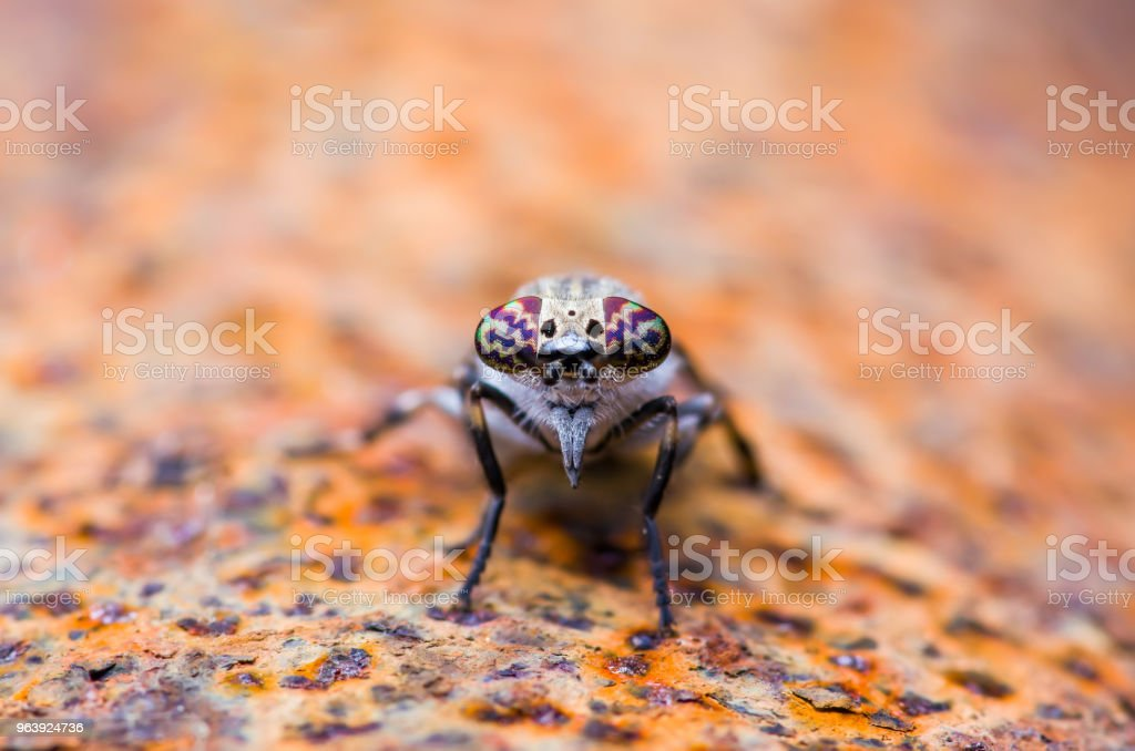 Horsefly or Gadfly or Horse Fly Diptera Insect Macro - Royalty-free Animal Stock Photo