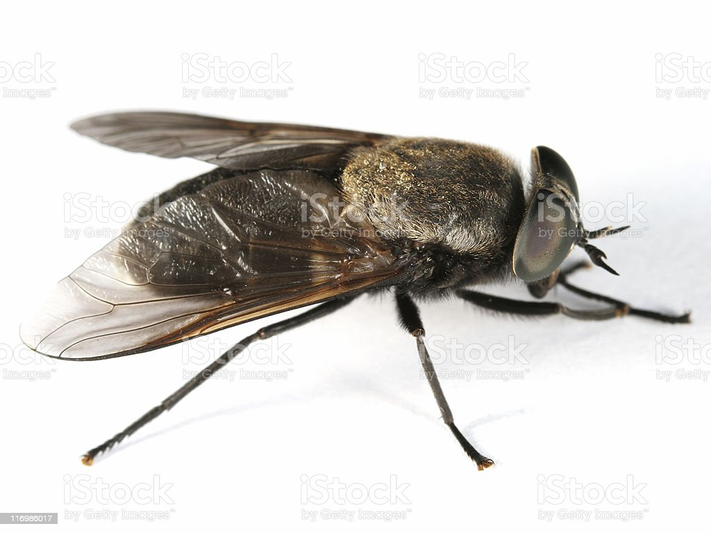Horsefly royalty-free stock photo