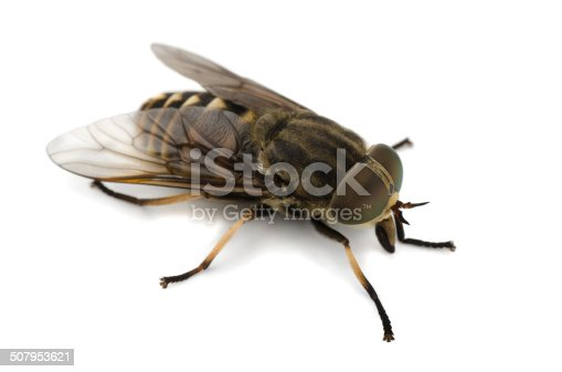 Horsefly isolated on a white background