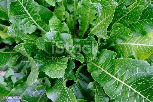 Horseradish bush close up view from above. Green leaves horseradish background.