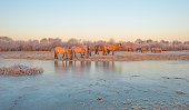 Horses along the shore of a frozen lake at sunrise