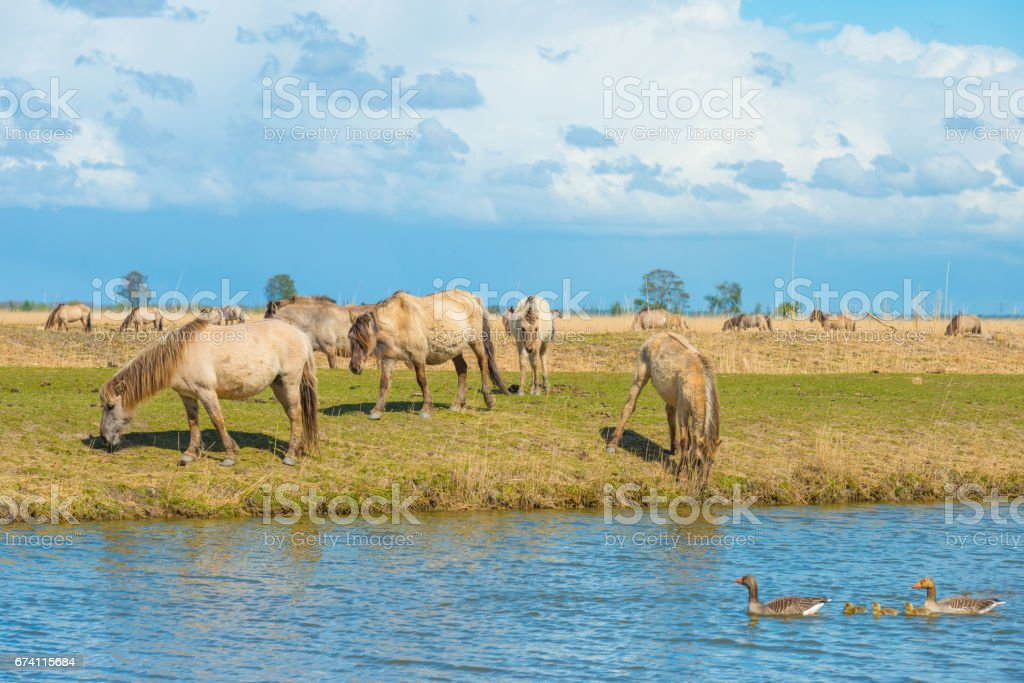 Horses along the shore of a lake in spring royalty-free stock photo