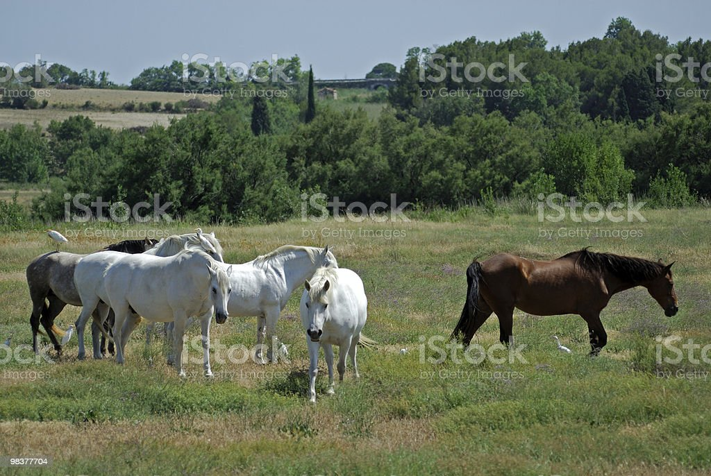 Horses and birds in Languedoc-Roussillon, France, at summer royalty-free stock photo