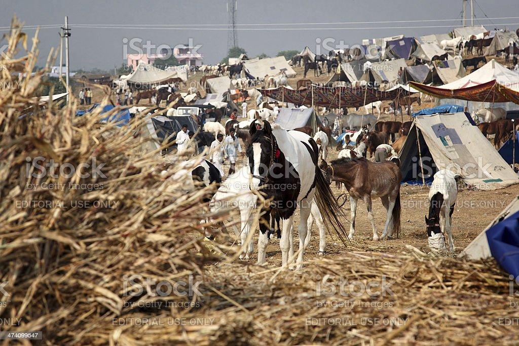 Horses and  Camel herders at Pushkar royalty-free stock photo