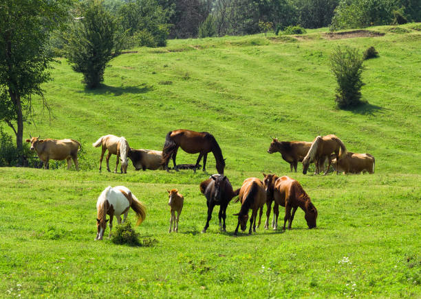 Horses and cows grazing on pasture Horses and cows grazing on pasture. Green meadow background with farm animals foal young animal stock pictures, royalty-free photos & images