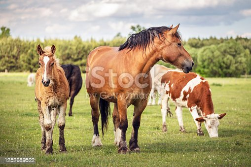 istock Horses and cows on the meadow. Summer grassland at agriculture. 1252689522