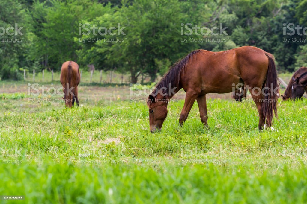 horses are eating grass in the green field Lizenzfreies stock-foto