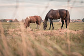 2 horses are grazing in a meadow somewhere on Ameland, the sun sets