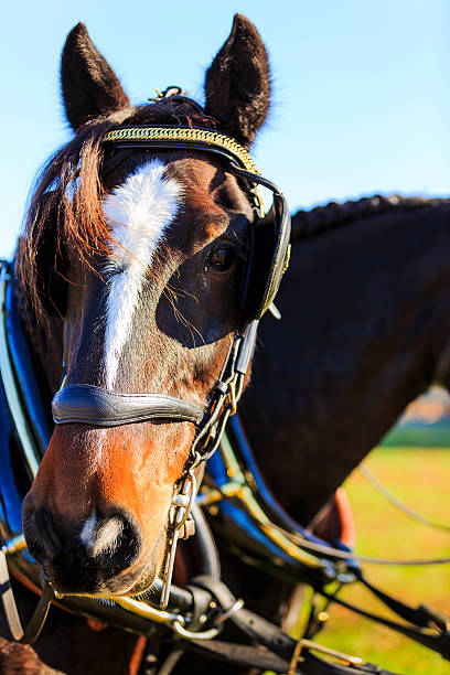Horses at carriage show with blinders on stock photo