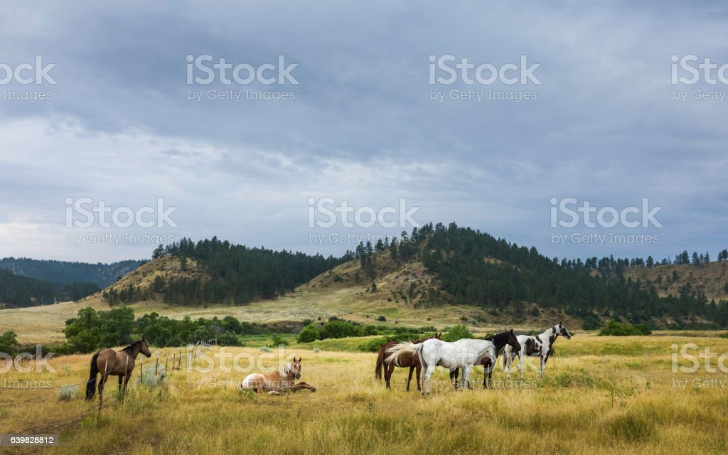 Horses at dawn on the prairie, Montana, USA. stock photo