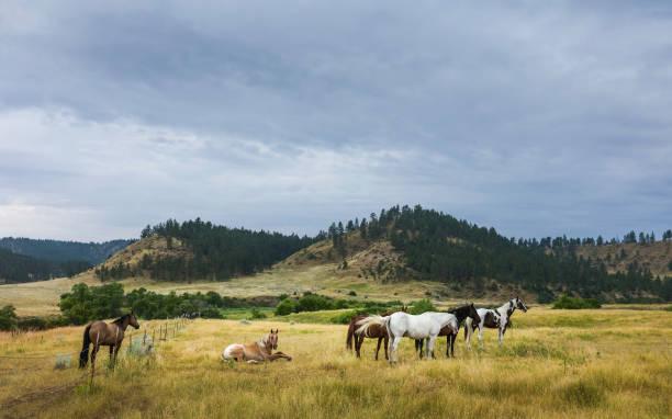 Horses at dawn on the prairie, Montana, USA. stock photo