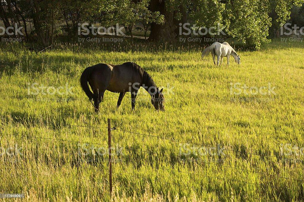 Horses at Dusk stock photo