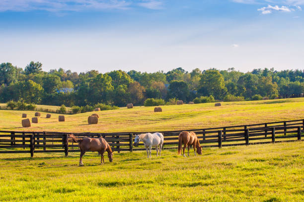 Horses at horse farm at golden hour. Country summer landscape. Horses at horse farm at golden hour. Country summer landscape. ranch stock pictures, royalty-free photos & images
