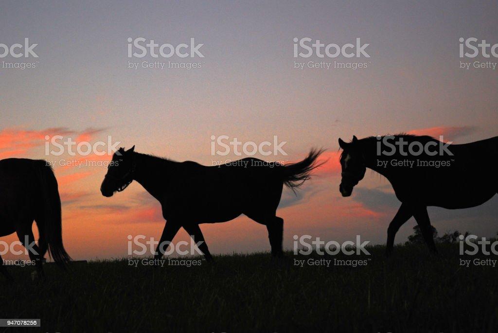 Horses at sunrise stock photo