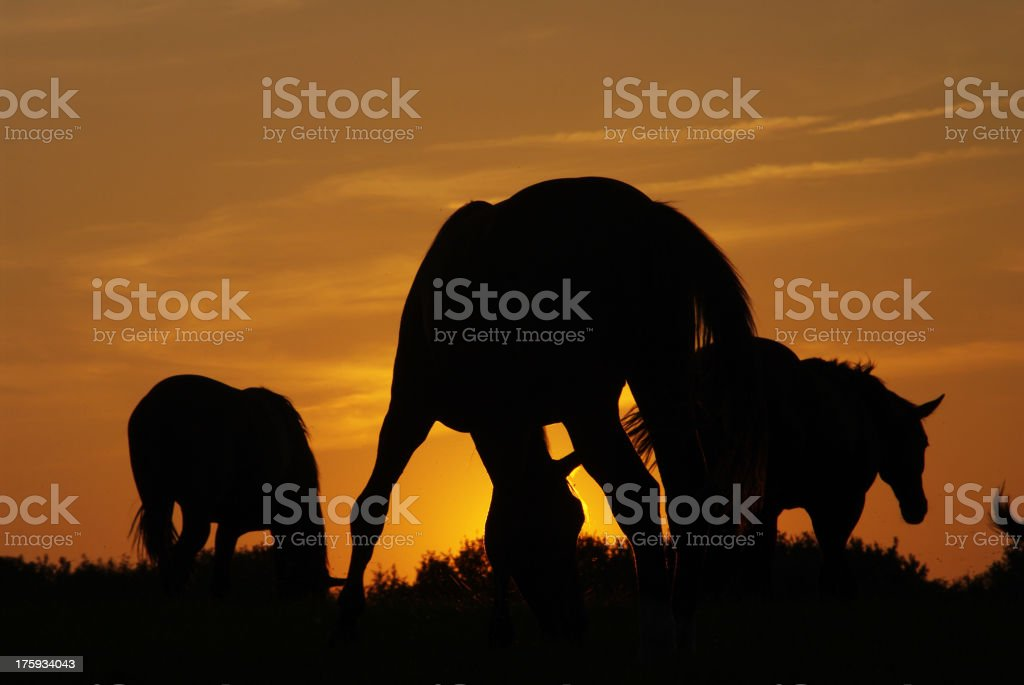 Horses at sunset royalty-free stock photo