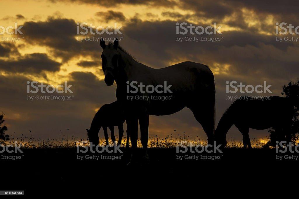 Horses at Sunset royalty-free stock photo