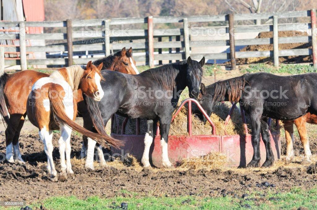 Horses at the Feeder stock photo