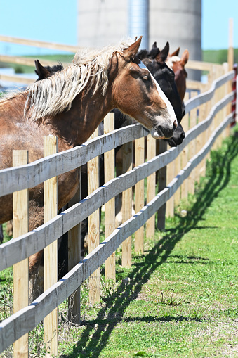 Farm horses at the wooden fence.