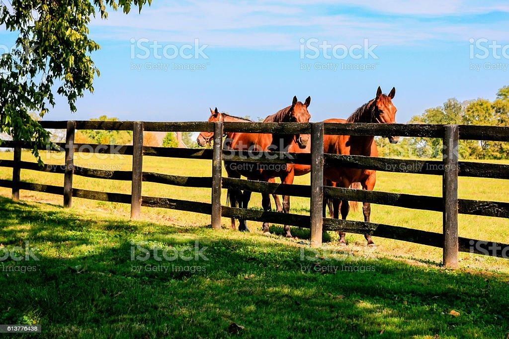 Horses behind fence at a stud farm near Lexington KY stock photo