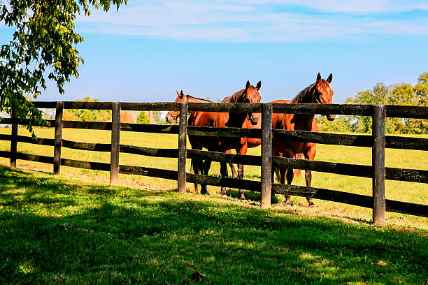 Horses behind fence at a stud farm near Lexington KY Horses behind a four-bar fence at a stud farm near Lexington KY ranch stock pictures, royalty-free photos & images