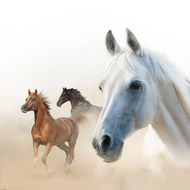 Horses concept: White, raven and chestnut Composition of horses: white stallion portrait and two runners arabian horse stock pictures, royalty-free photos & images