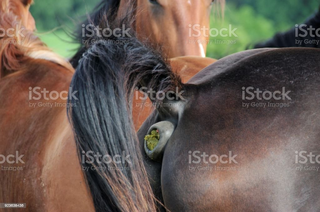 Horses defecating - foto stock